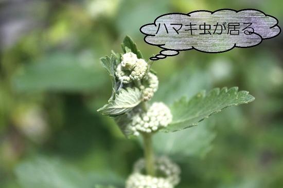 段菊_9110 (2)