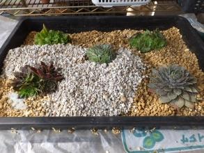 浅い育苗箱に鹿沼土とくん炭を敷いてその上には赤玉土とくん炭を混ぜた用土を2層にして植え付けます♪2015.10.20