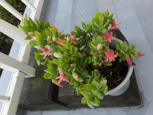 コチレドン・ティンカーベル(Cotyledon woodii cv. `Tinker Bell'?)たくさん開花中♪2015.09.18