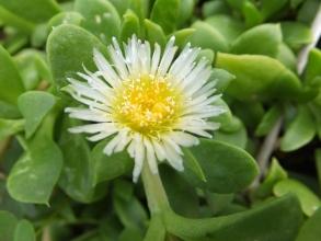 アプテニア(花蔓草)の白花が咲いています♪2015.09.06