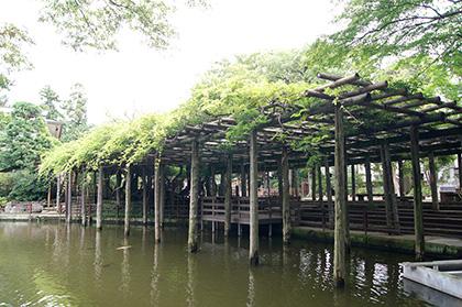 150827久伊豆神社の藤④