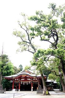 150827久伊豆神社の藤⑤