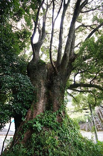151005春日神社のクス④