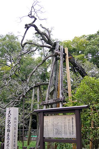 151005三嶋大社の金木犀④