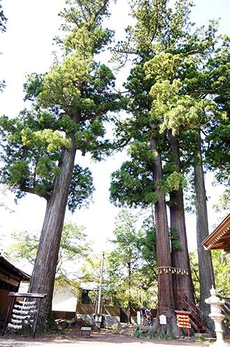 151006日枝神社の杉①jpg