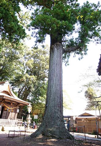 151006日枝神社の杉②