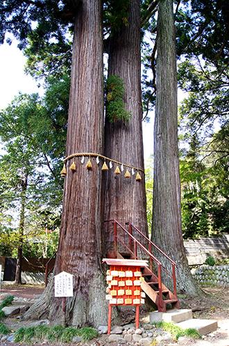 151006日枝神社の杉④