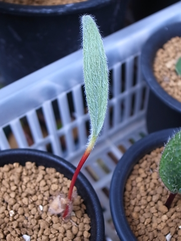 20151017_Eriospermum villosum