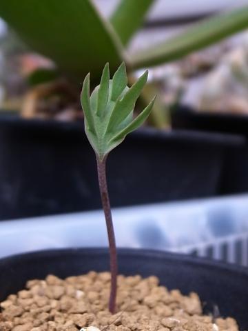 20151017_Eriospermum alcicorne_3