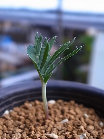 20151017_Eriospermum alcicorne_2