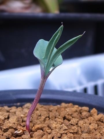 20151017_Eriospermum alcicorne_1