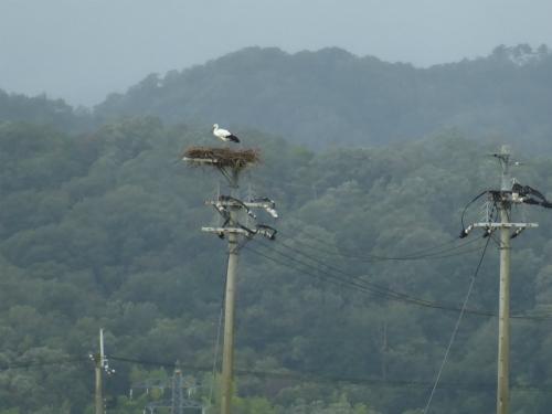 電柱にコウノトリの営巣