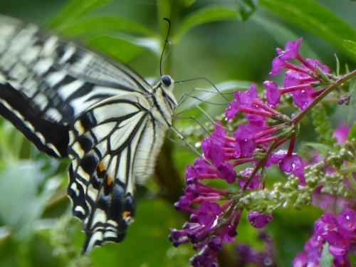 キアゲハ 庭の主のようにこの蝶だけは大抵います。