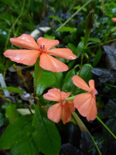 また咲き出したフシグロセンノウ