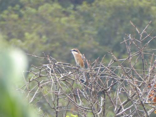 お隣の木の上で百舌鳥
