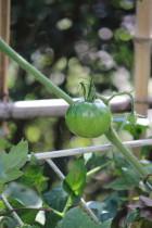 トマト0001_3
