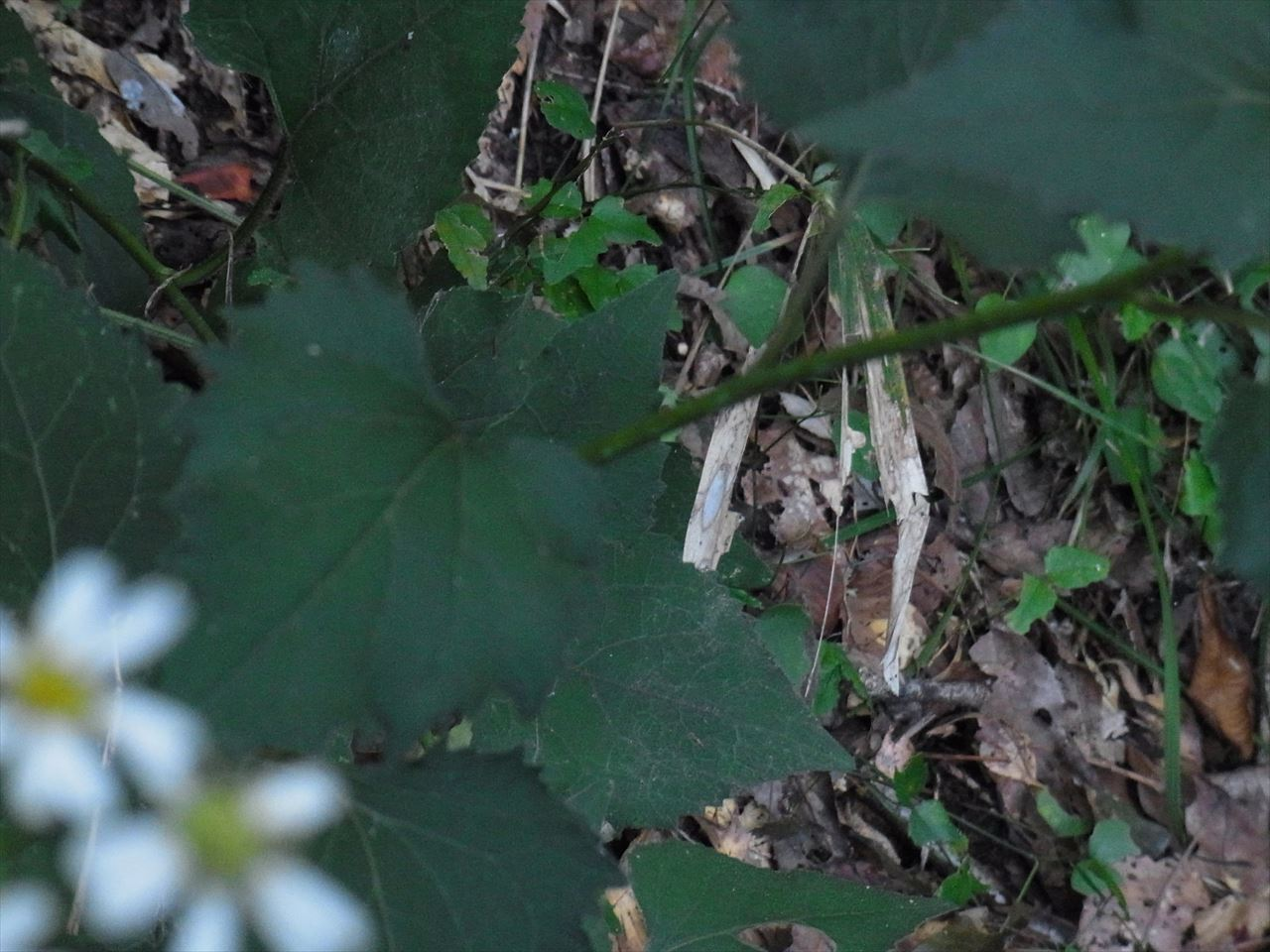 シラヤマギク 葉