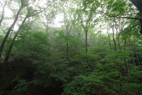 シオジの渓畔林