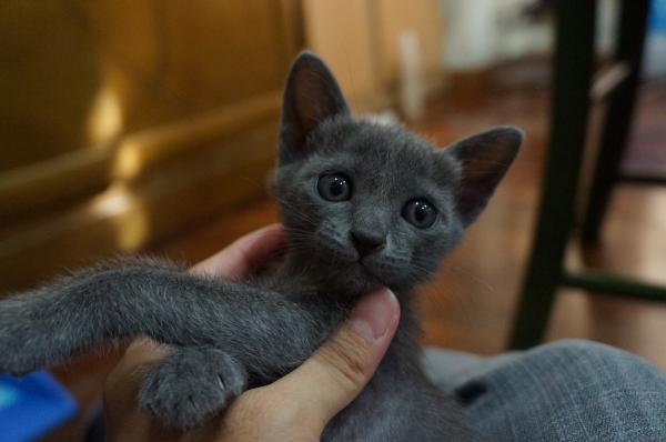 korat cat kitten1