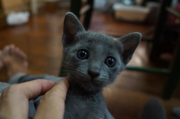 korat cat kitten2