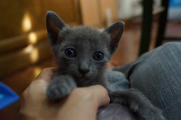 korat cat kitten3