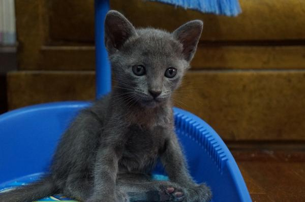 korat cat kitten4