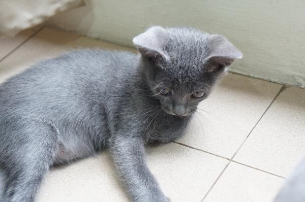 koratcat kitten2