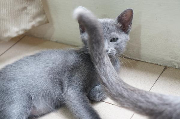 koratcat kitten3