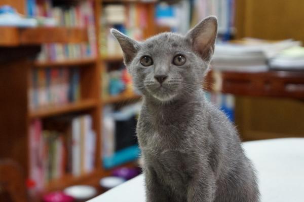 koratcat kittens3