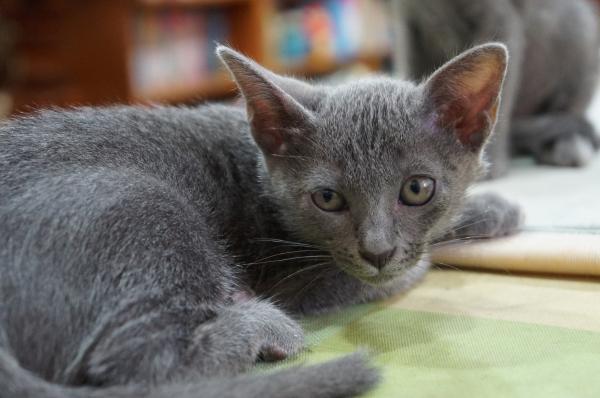 koratcat kittens4