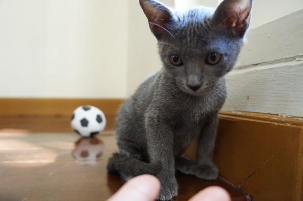 kittens koratcat6
