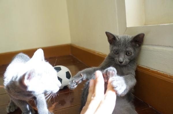 kittens koratcat7