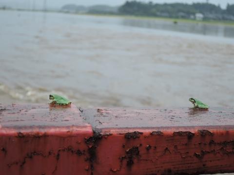 光案寺橋に逃げたカエル (2)