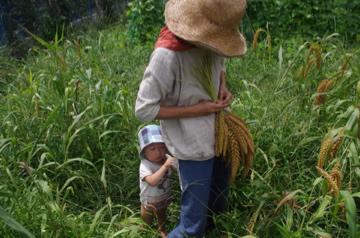 モチアワ収穫
