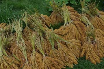 モチアワ収穫2