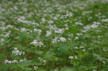 そばの花2