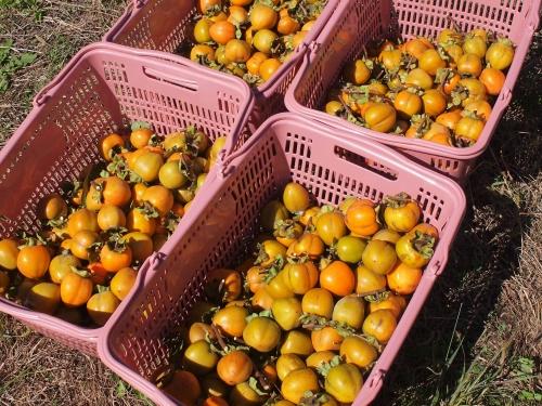 500干し柿作り15101504