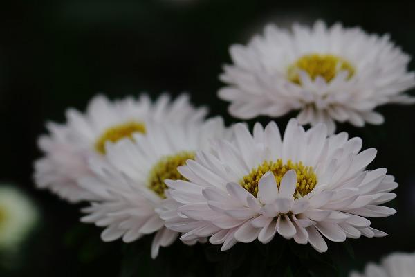 花き研究指導室 アスター 150913 03