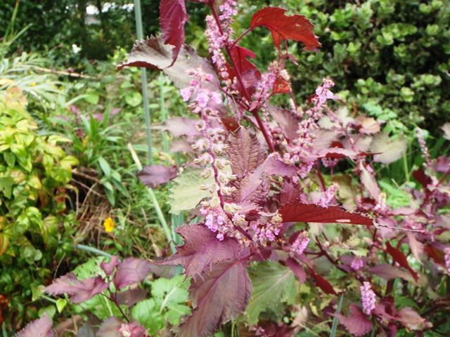 赤紫蘇の花20150917