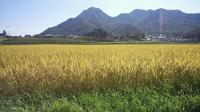 羽束山と山田錦20150928