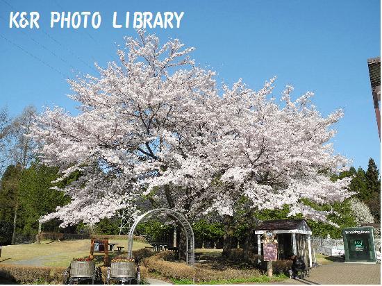 4月12日横川SA下り桜