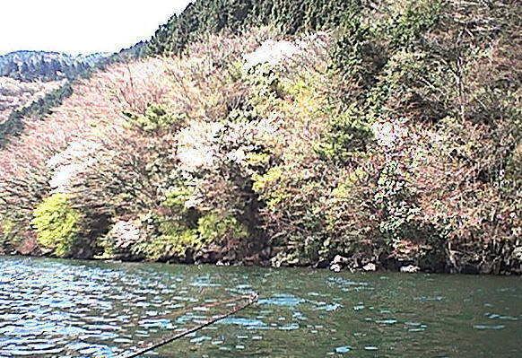 芦ノ湖の桜