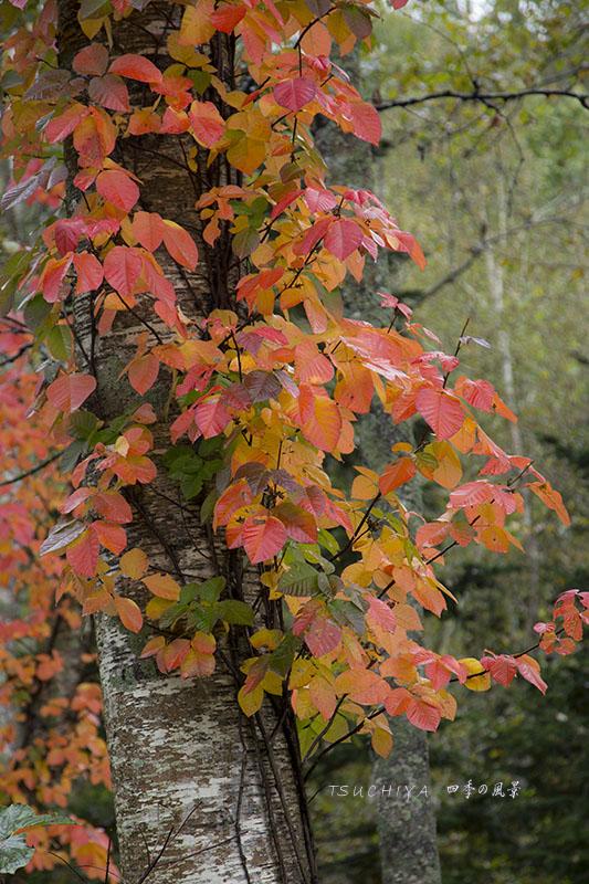 北海道 紅葉