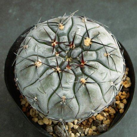 Sany0202--berchtii--VS 161--Koehres seed-kousen en