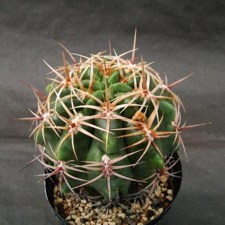 Sany0115---achirasense v echinatum--LB 278--Piltz seed 3129