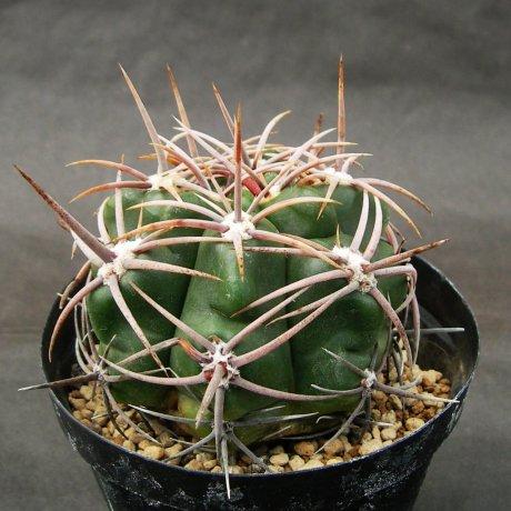 Sany0128-achrasense v kainradliae---LB 285--Bercht seed 1253(2007)