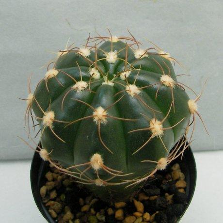 Sany0073--fleischerianum--HU 304--Piltz seed 1060