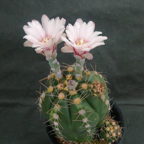 Sany0089--fleischerianum--ex Houmei en