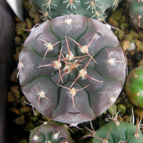 Sany0203-G. prochazkianum-VS 141--Quilino--Piltz seed 5212