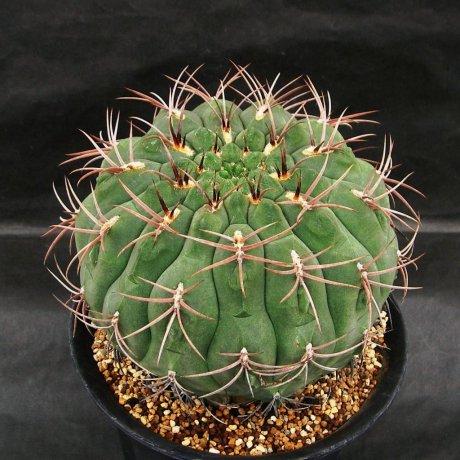 Sany0005--pugionacanthum--ex Nishi 1999